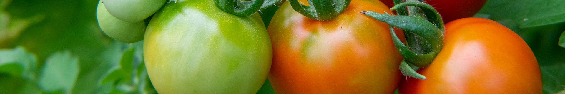 <p><strong>How to grow tomatoes like a pro</strong></p> <p></p>