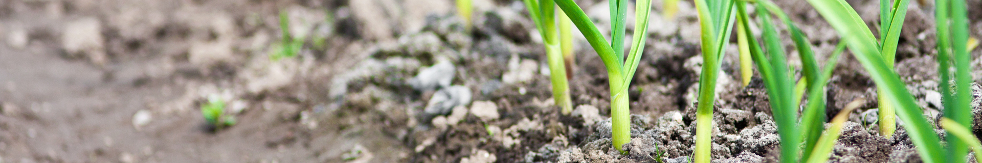 <p>Everything you need to know about growing garlic</p>